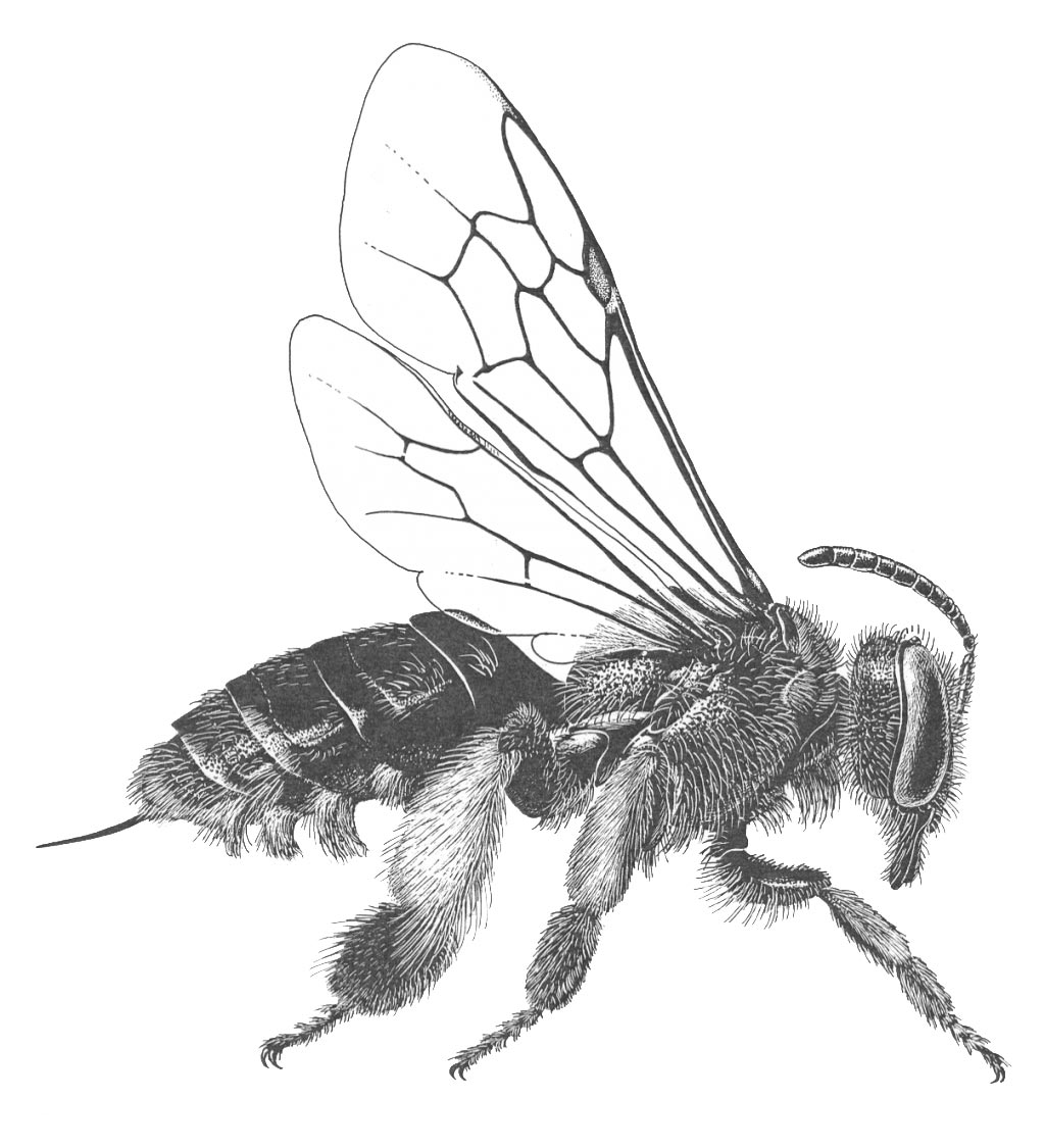 Macropis